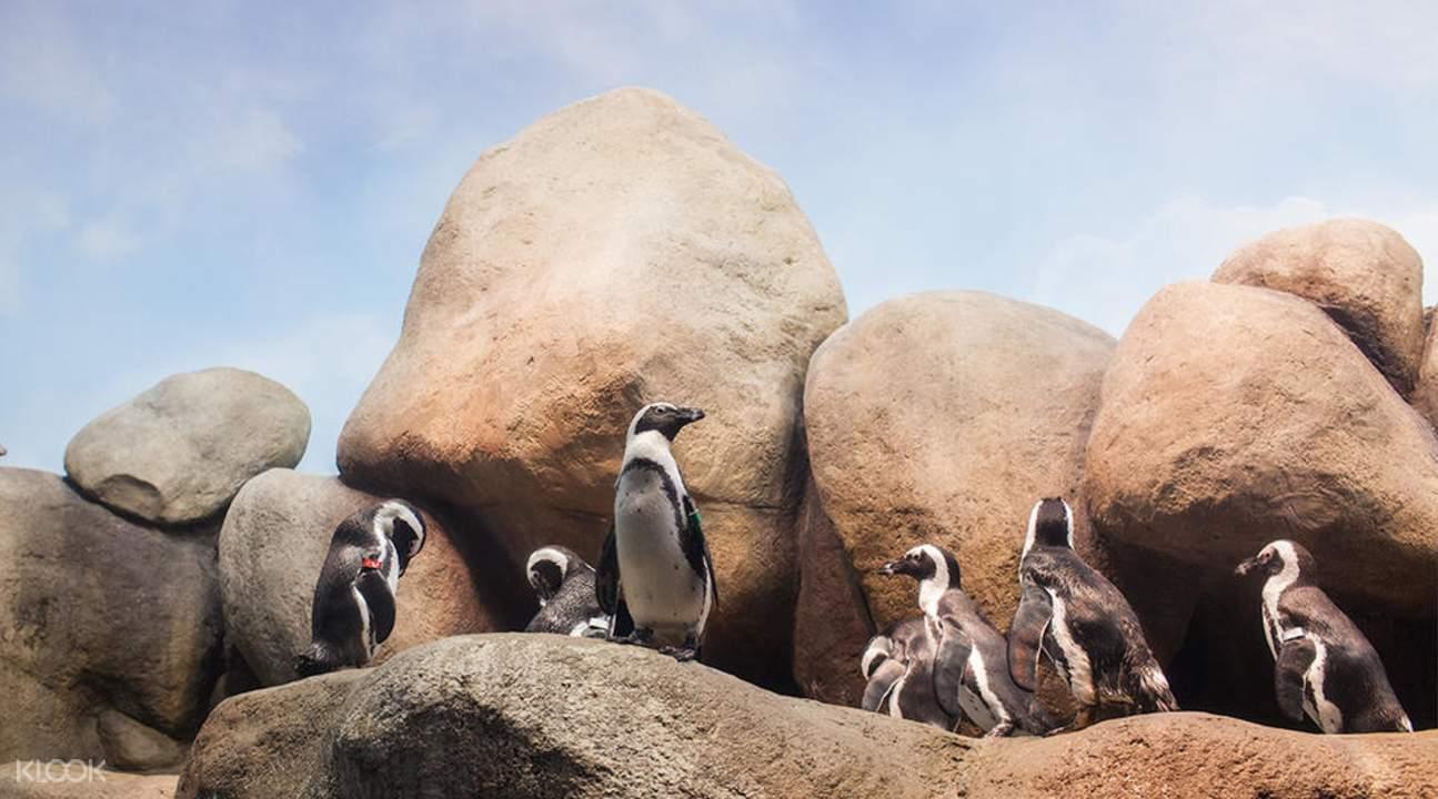 加州科学院南非企鹅