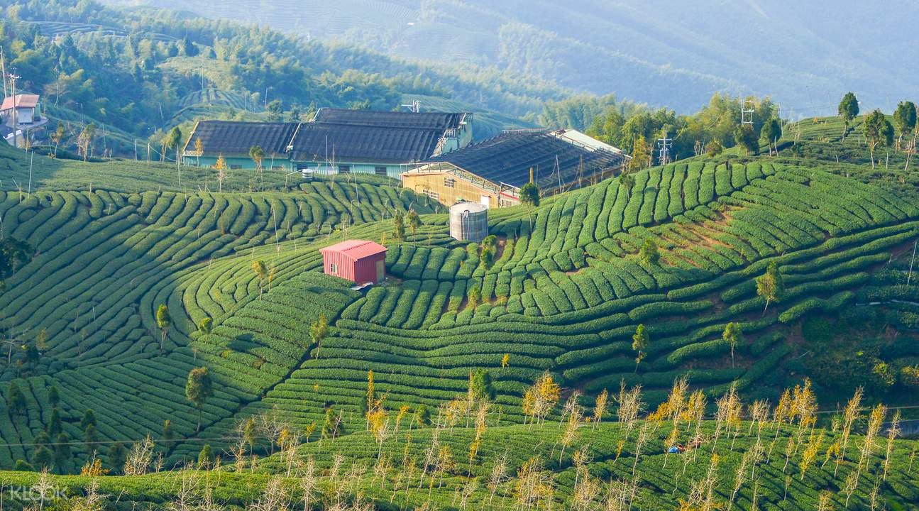 Pinglin Tea Plantation