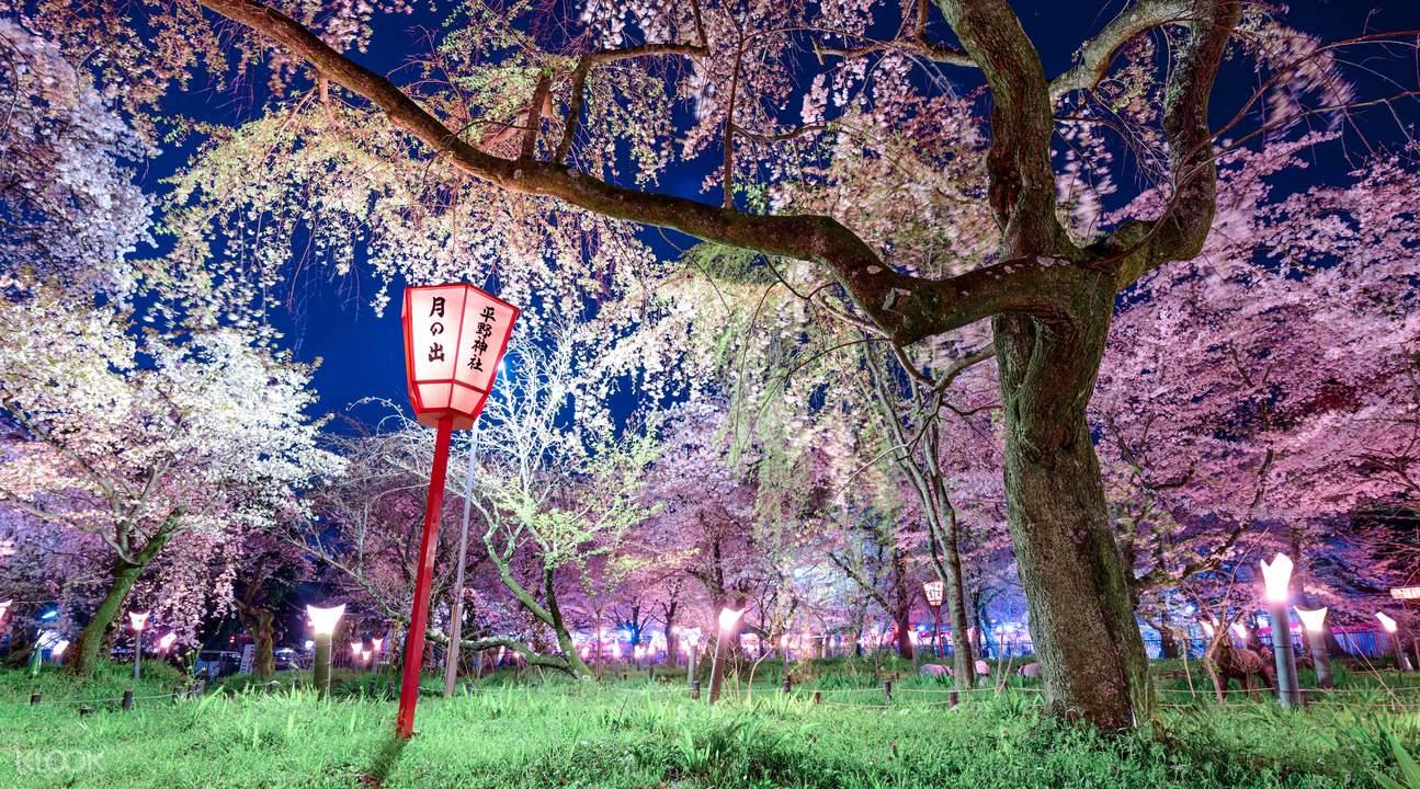 sakura illumination festival