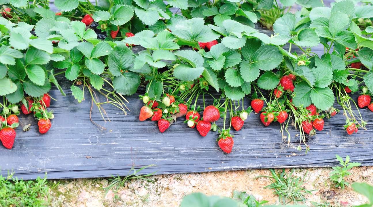 Strawberry picking South Korea