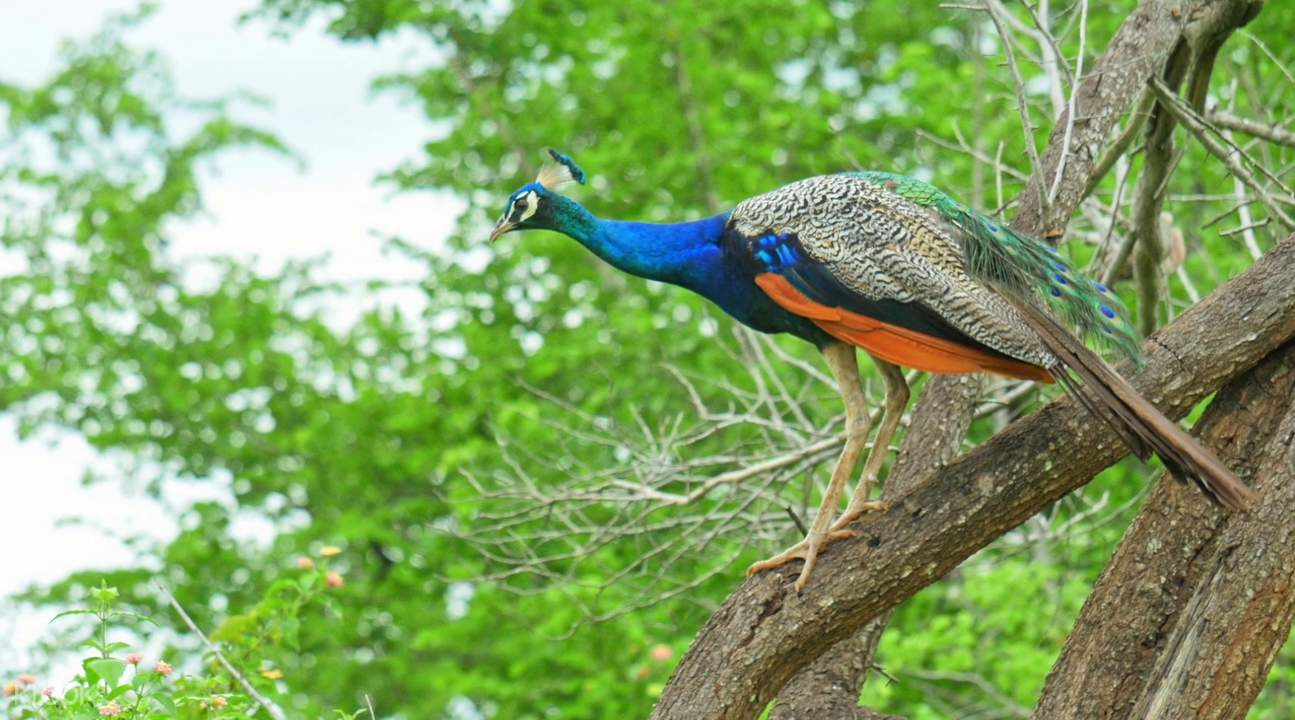 Peacock on the branch of the tree