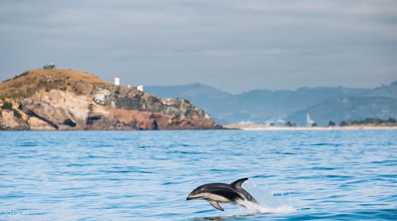 新西兰贺氏矮海豚跳水