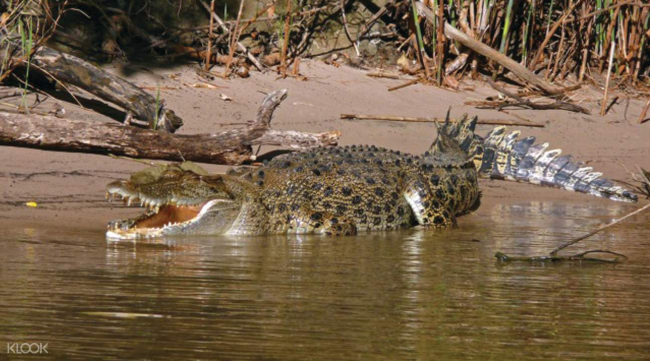 玛丽河湿地咸水鳄鱼