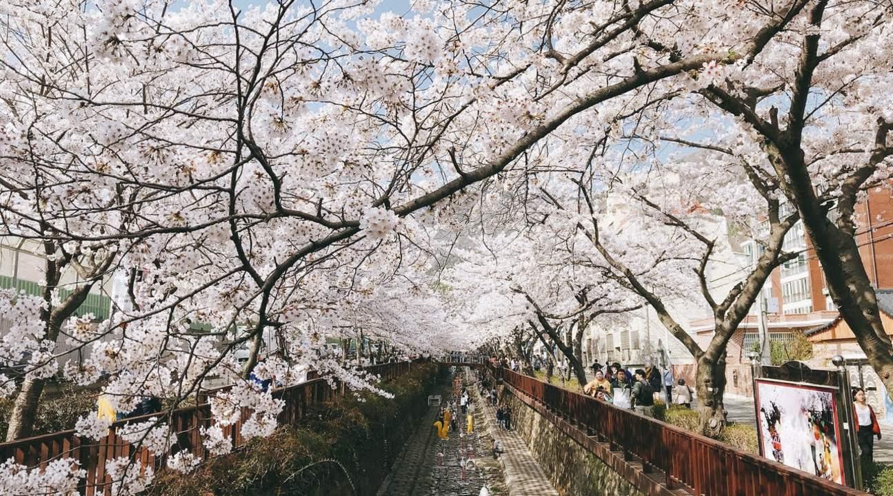 韩国樱花2017