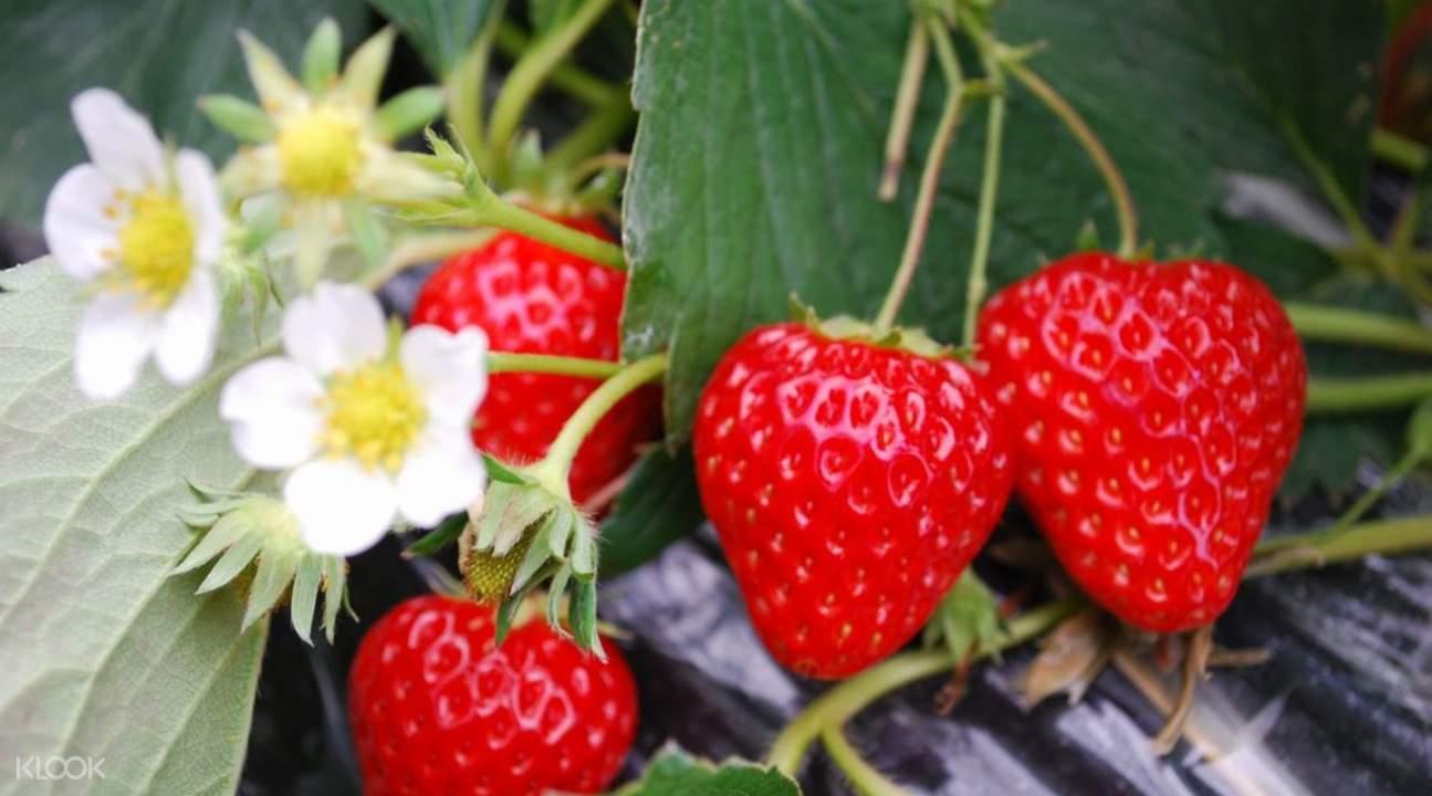 草莓採摘吃到飽