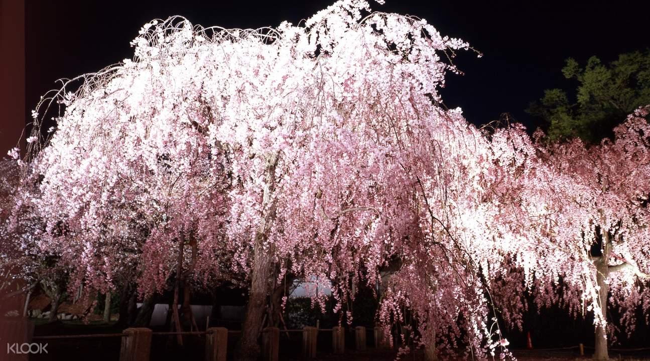 sakura tree at night in ninomaru palace