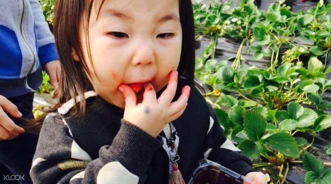 摘草莓& 玩雪兜& 安山燈飾一日遊