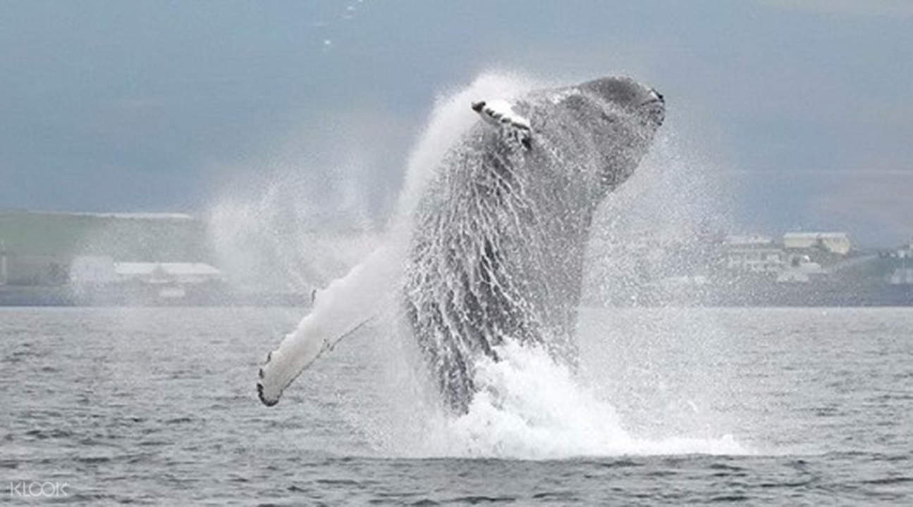 iceland whale watching tours