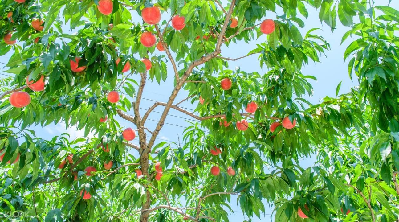 Sweet peach farm tour