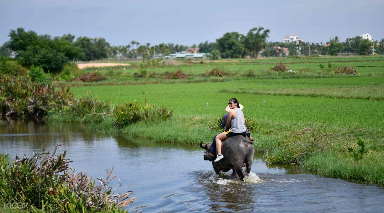 hoi an buffalo riding