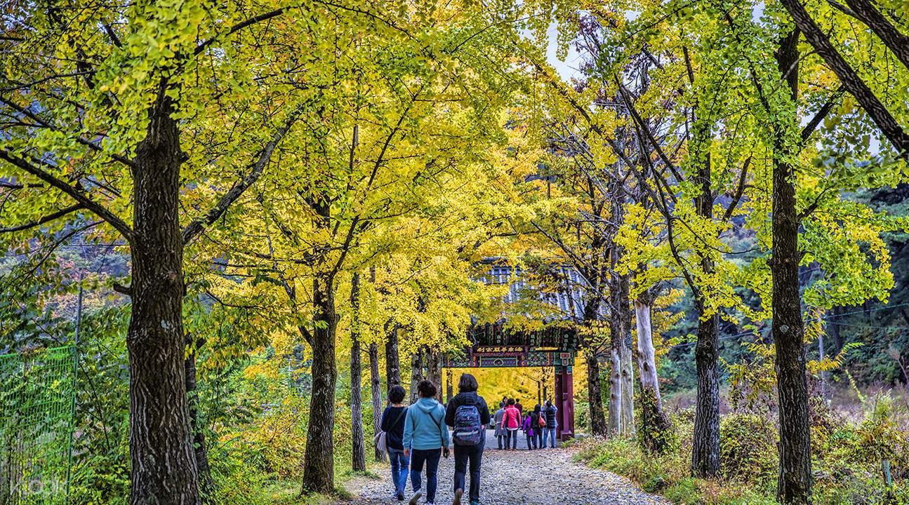 榮州浮石寺銀杏步道