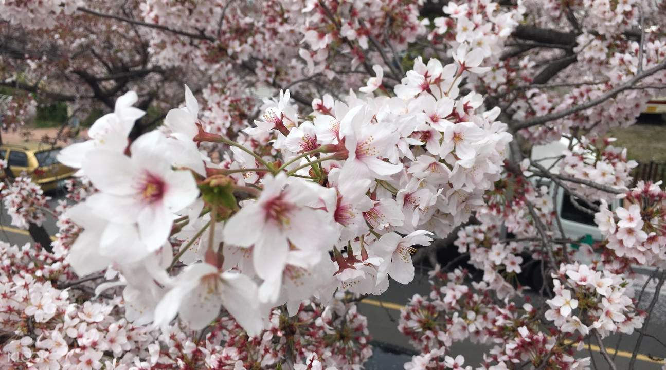 鎮海櫻花節