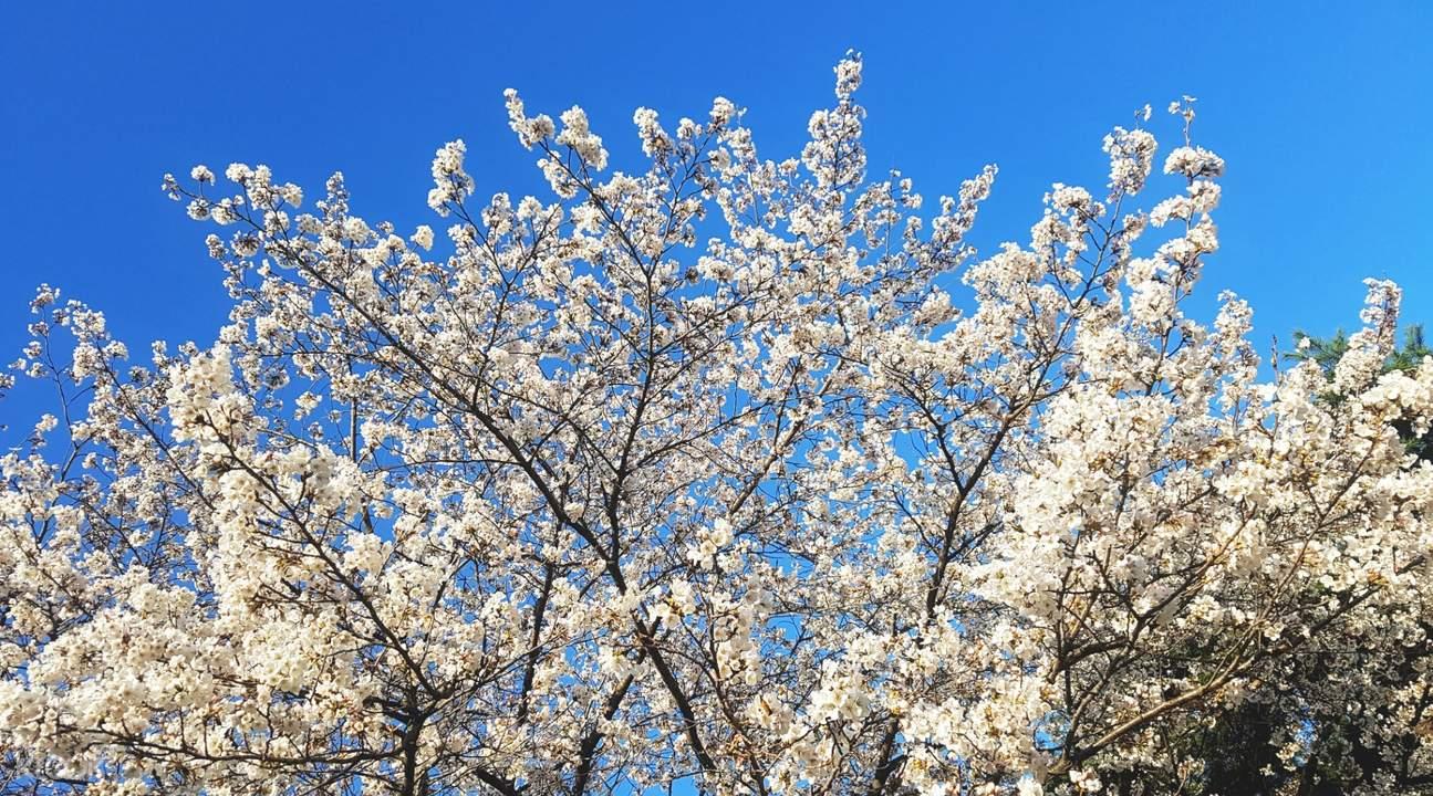cherry blossom tree in suwon hwaseong