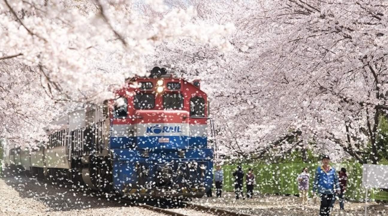 韩国庆州樱花