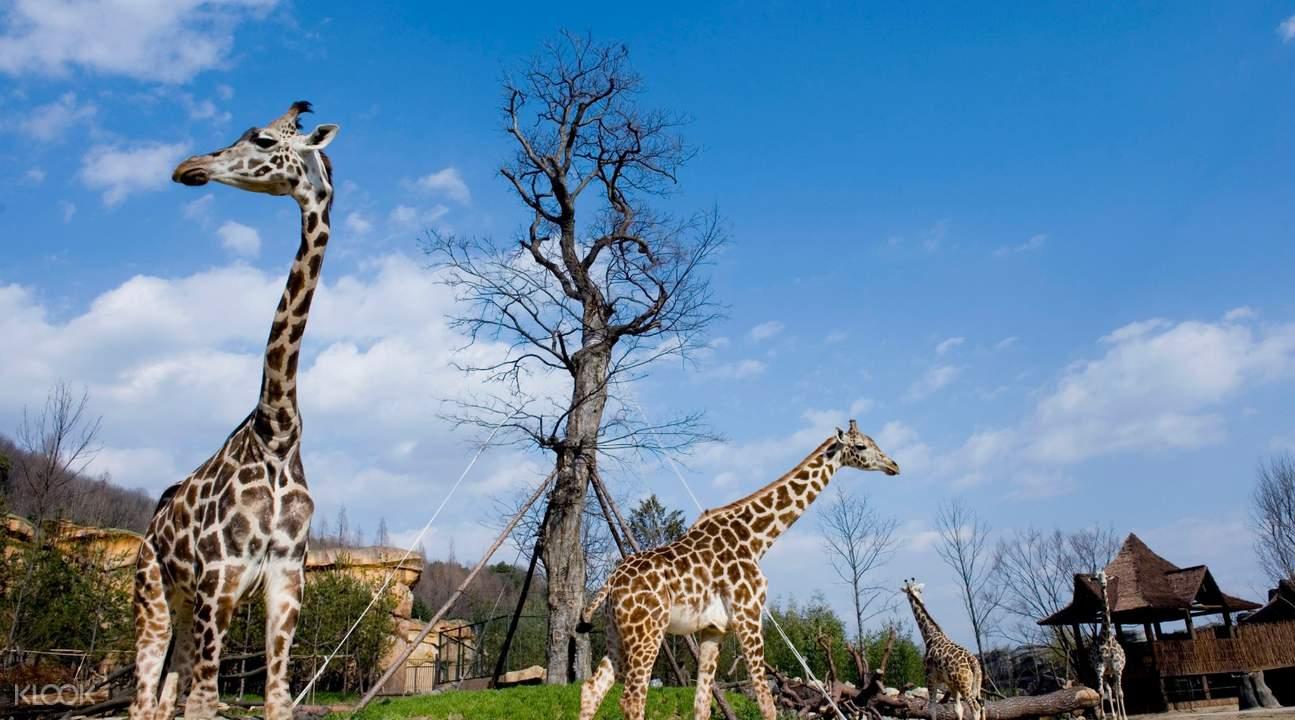 Everland giraffes