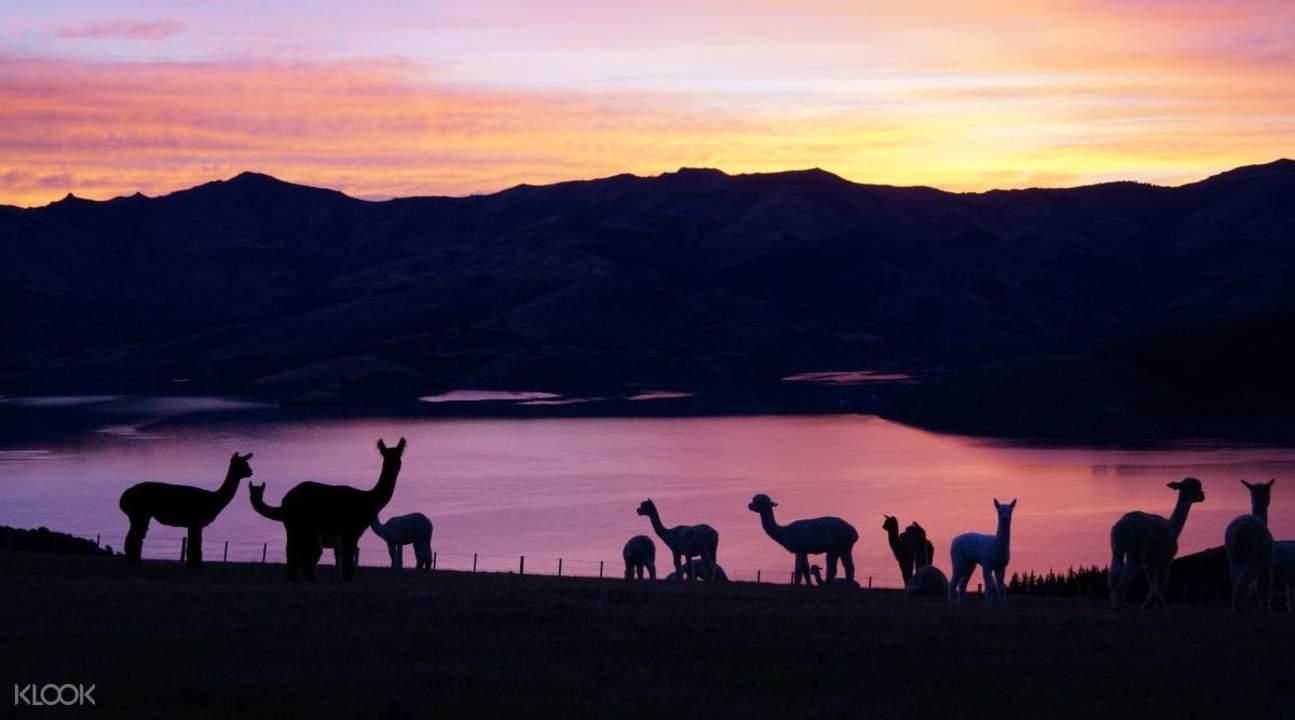 莎瑪拉牧場羊駝