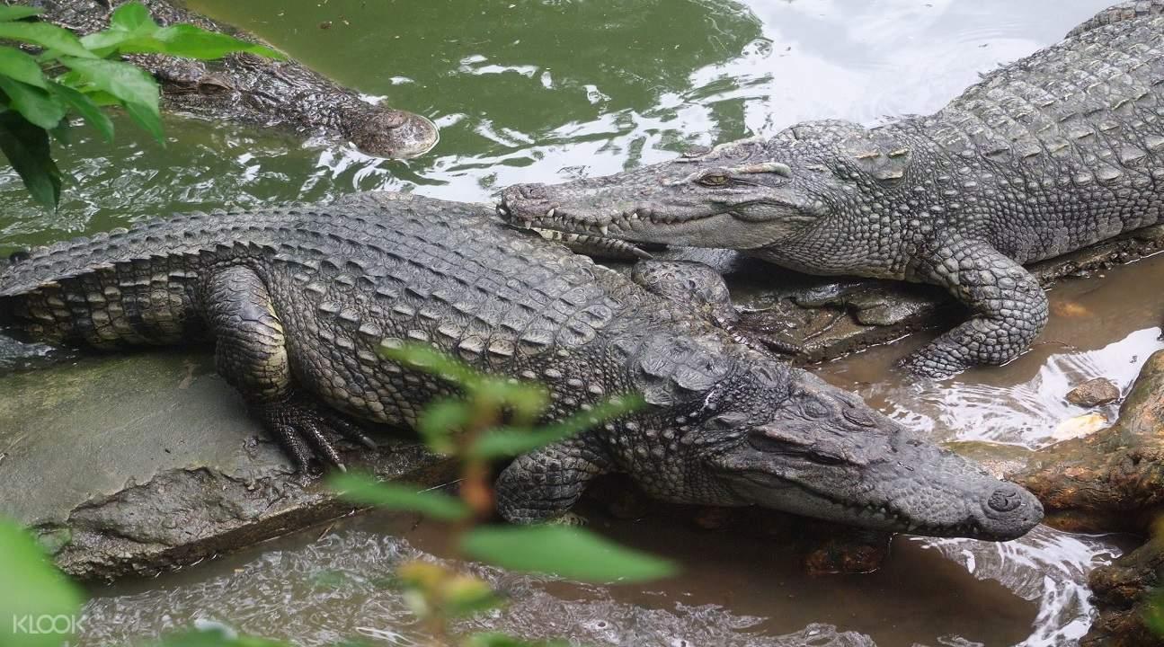 crocodiles inside the zoo