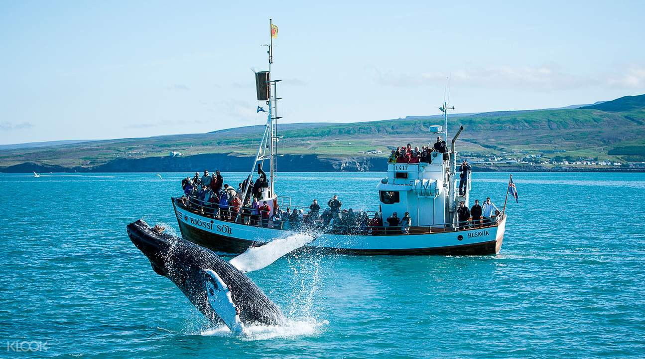 best whale watching in Iceland