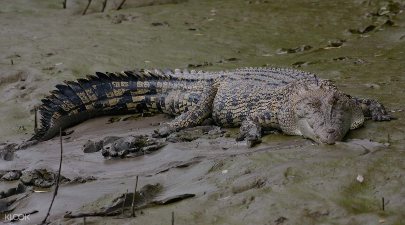 saltwater crocodiles on whitsunday