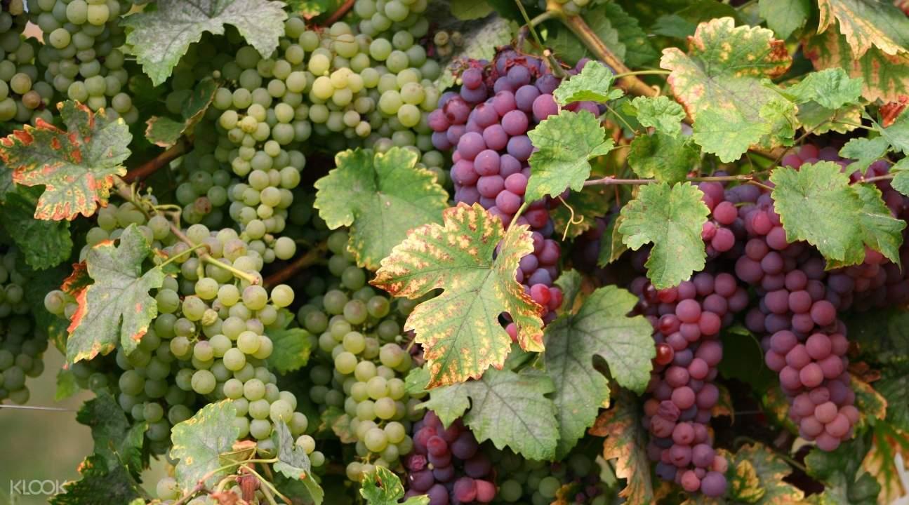 奧貝奈半日遊,奧貝奈半日葡萄酒之旅,奧貝奈半日游從史特拉斯堡出發,奧貝奈酒莊參觀,奧貝奈葡萄酒之旅,奧貝奈葡萄酒品鑑之旅