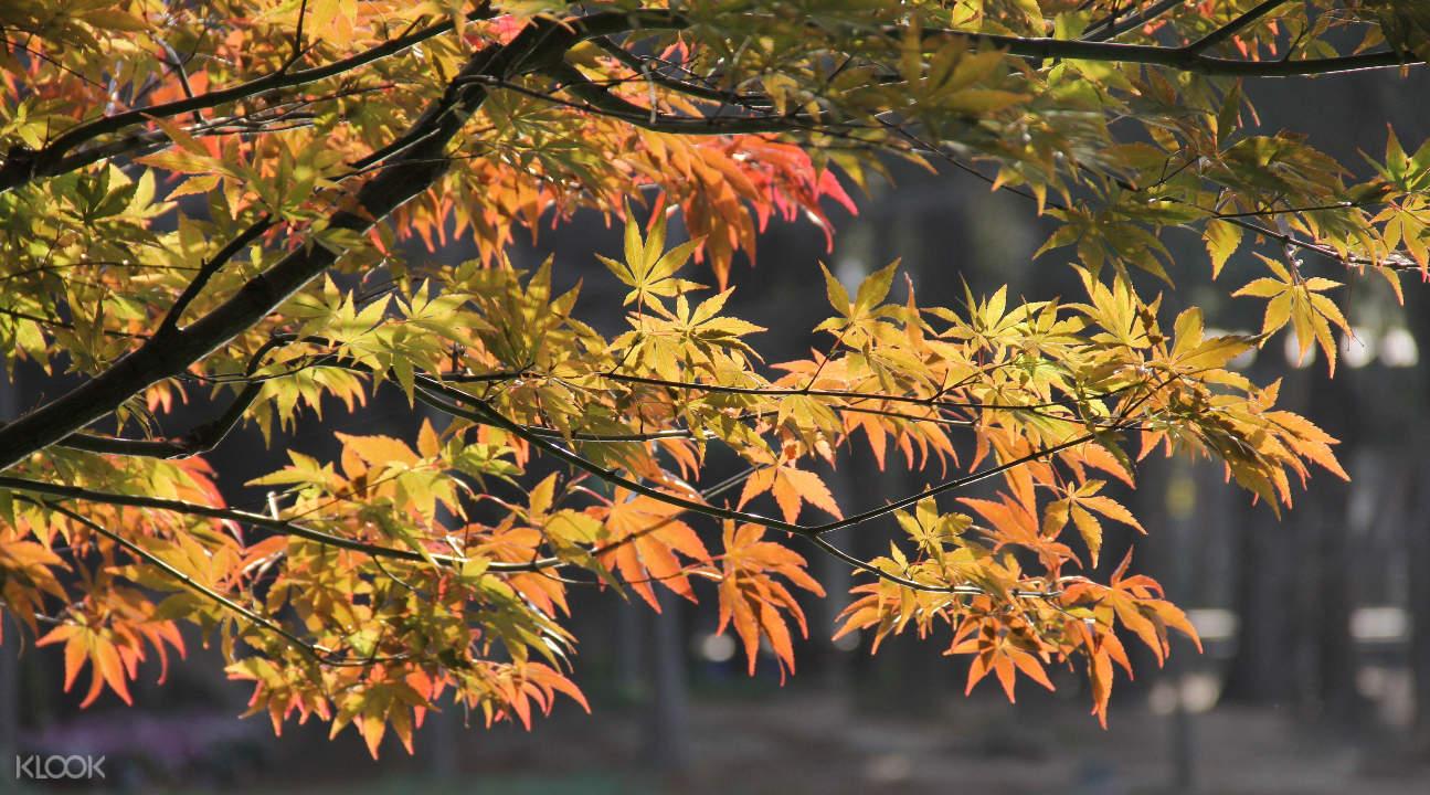 Shuzou maple leaves