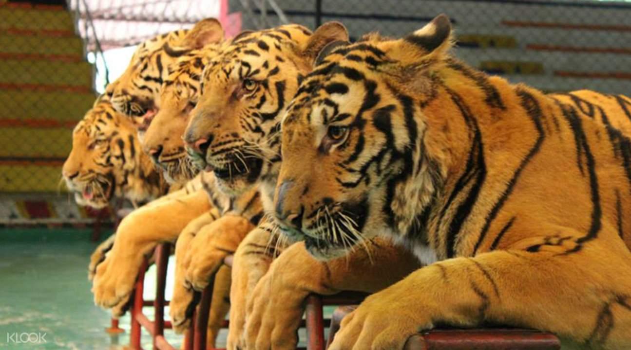 tigers hanging together