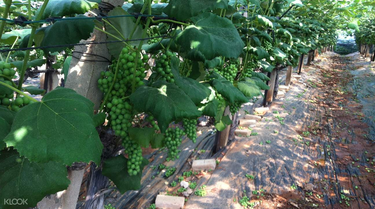 haengdam island grape picking day tour