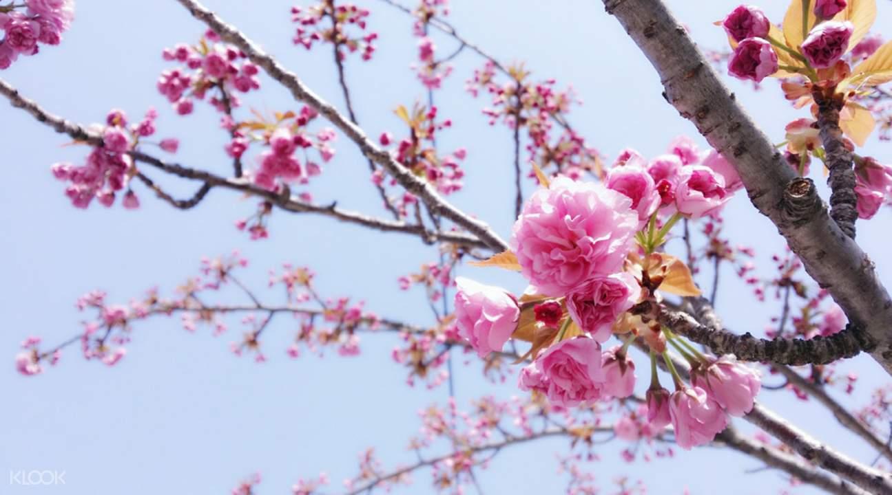 全州八重櫻花