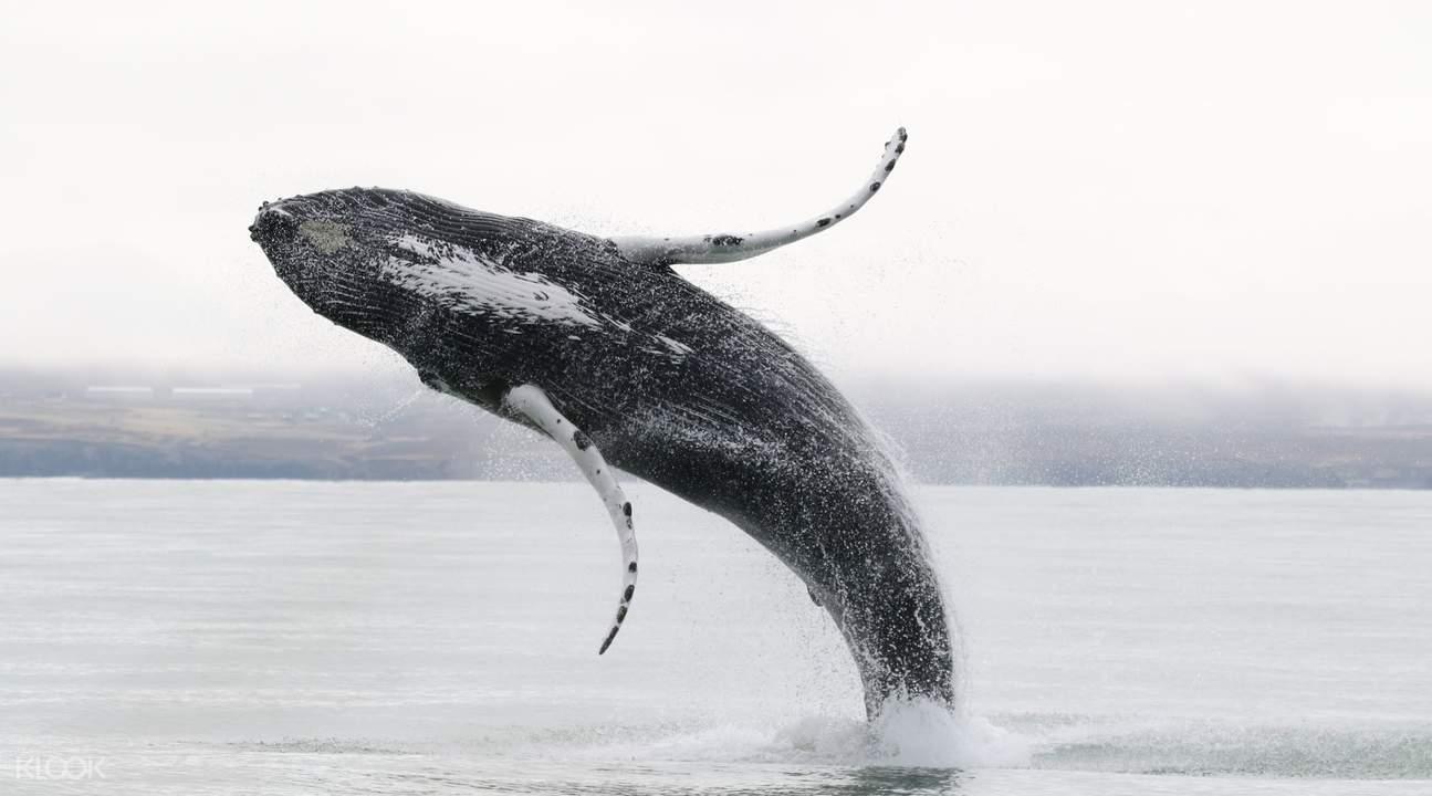 冰島座頭鯨