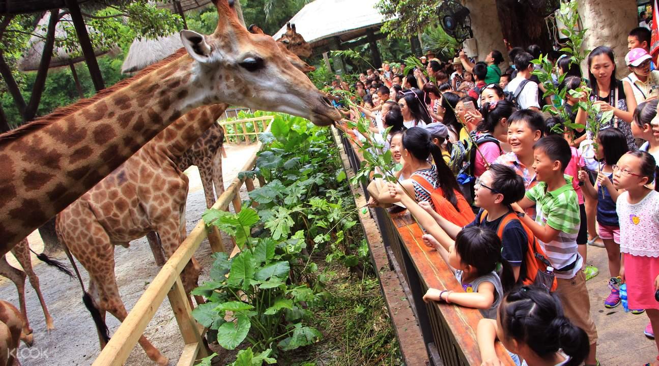 kids feeding giraffes at chimelong safari park