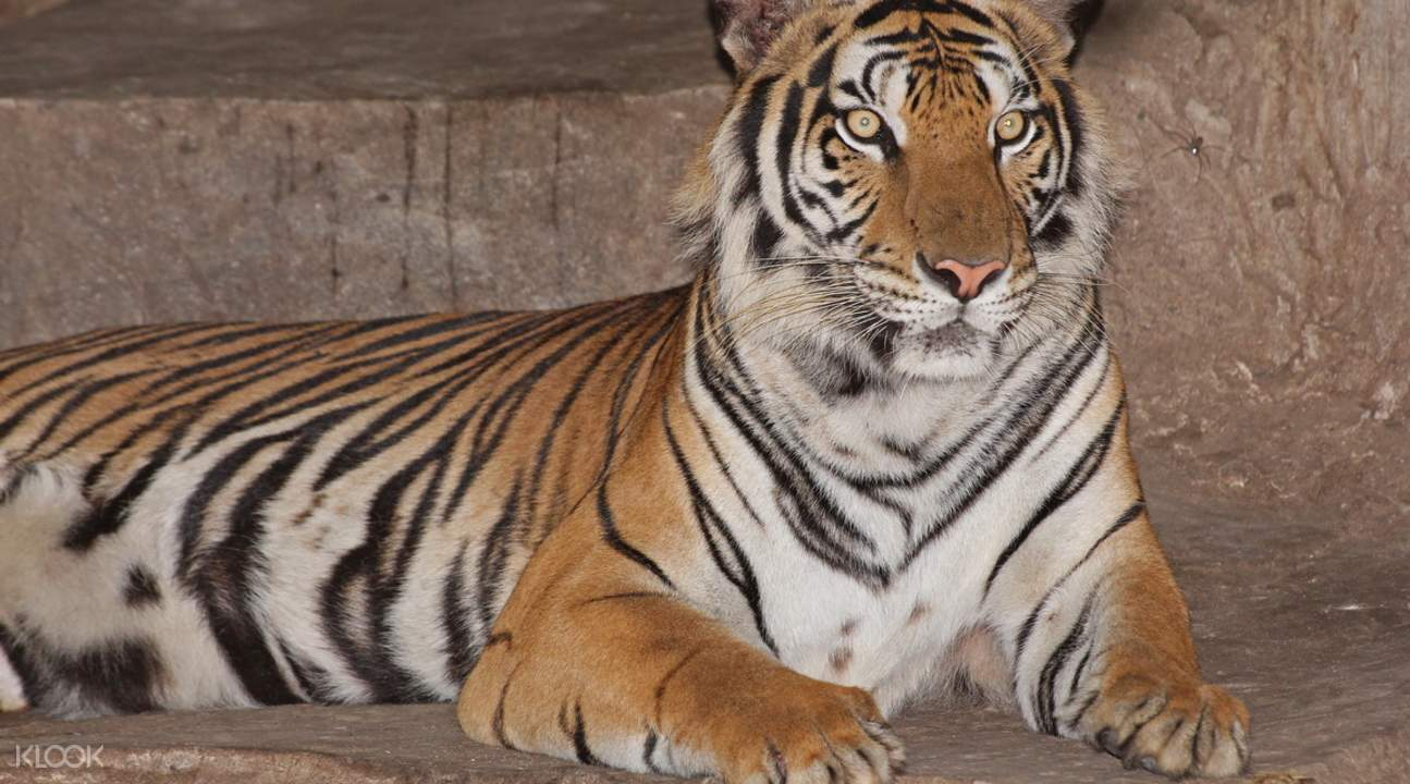 tiger laying on belly