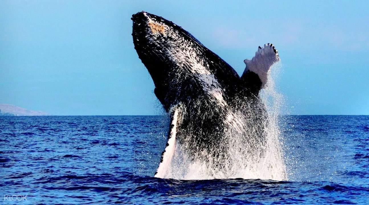 亞特蘭蒂斯雄偉號觀鯨