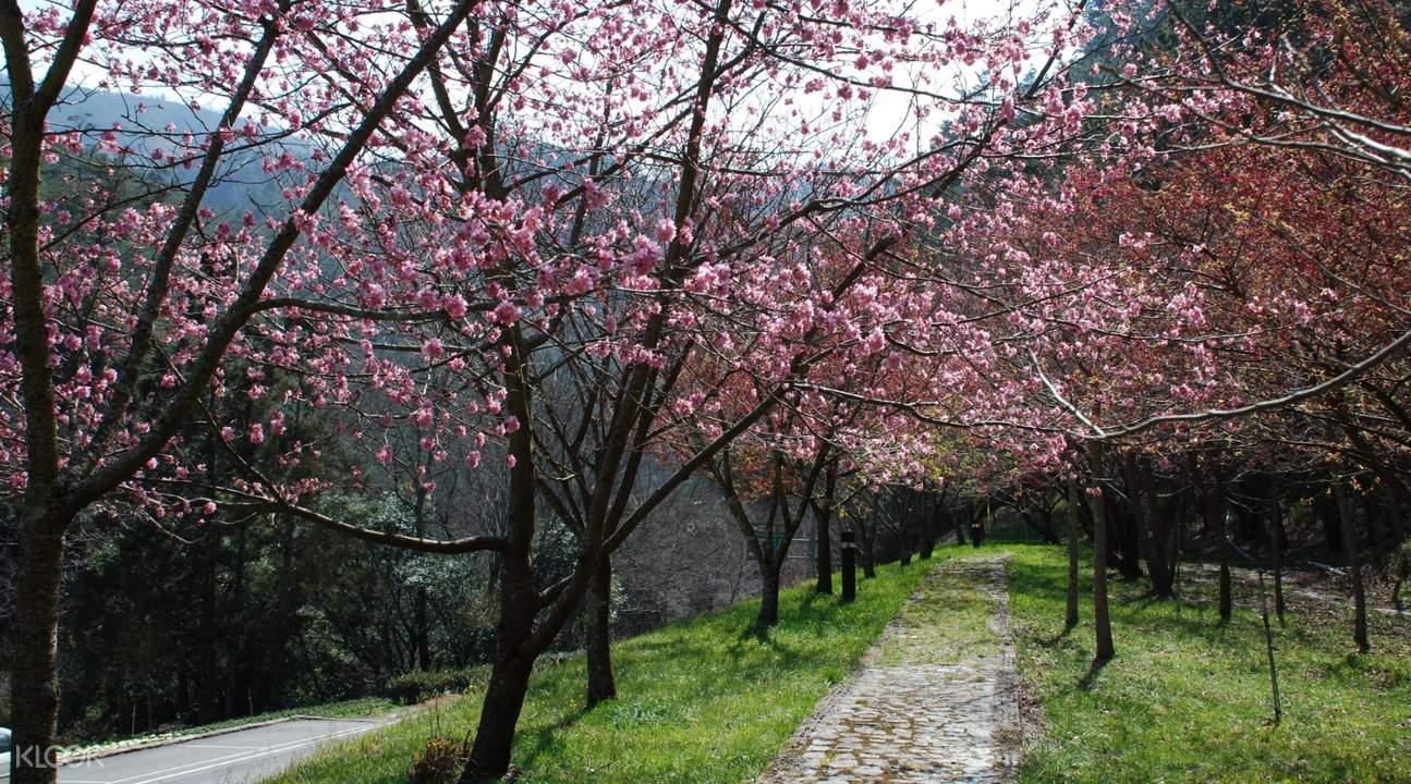 武陵农场赏樱一日游