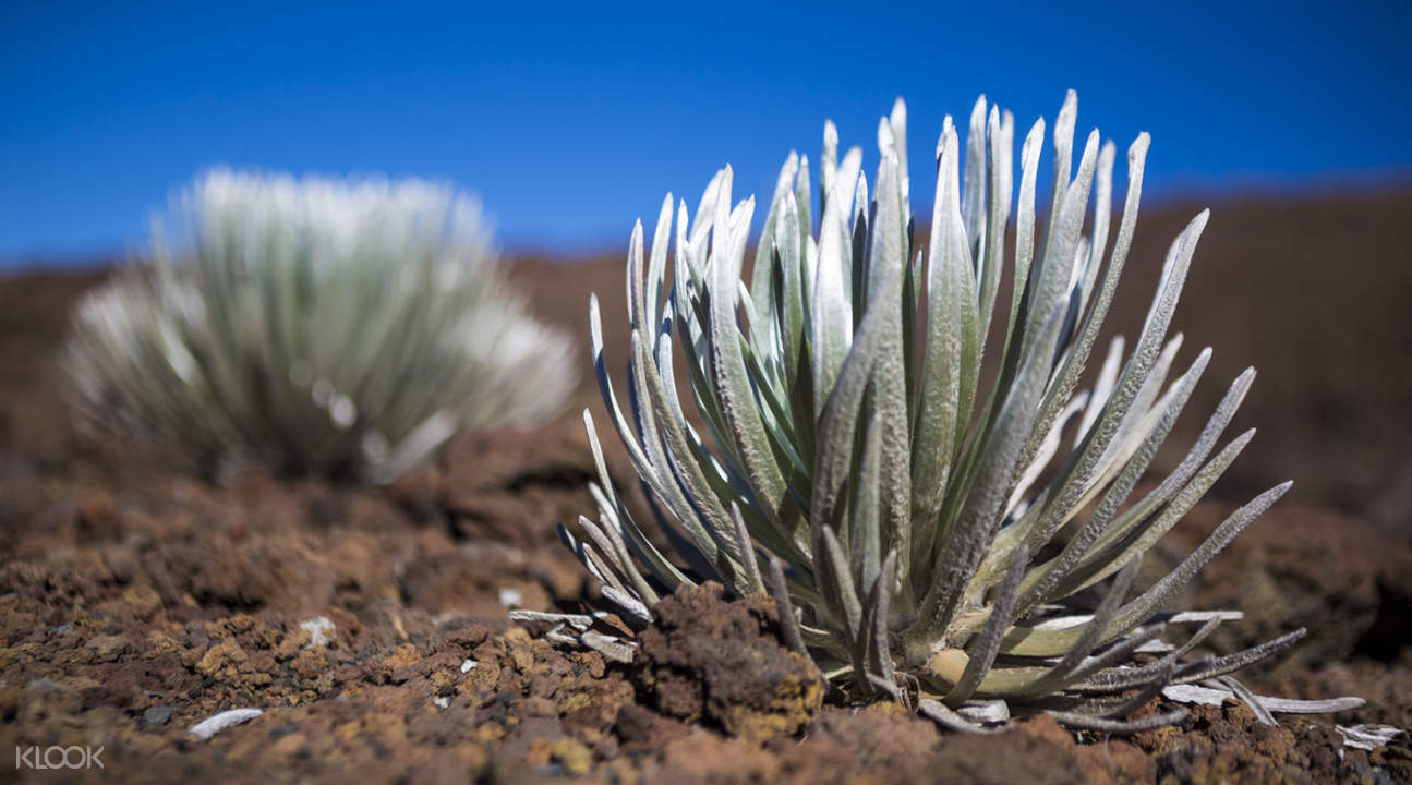 silversword plant in Haleakala
