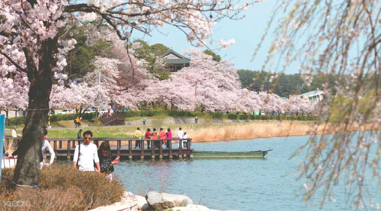 鏡浦台櫻花