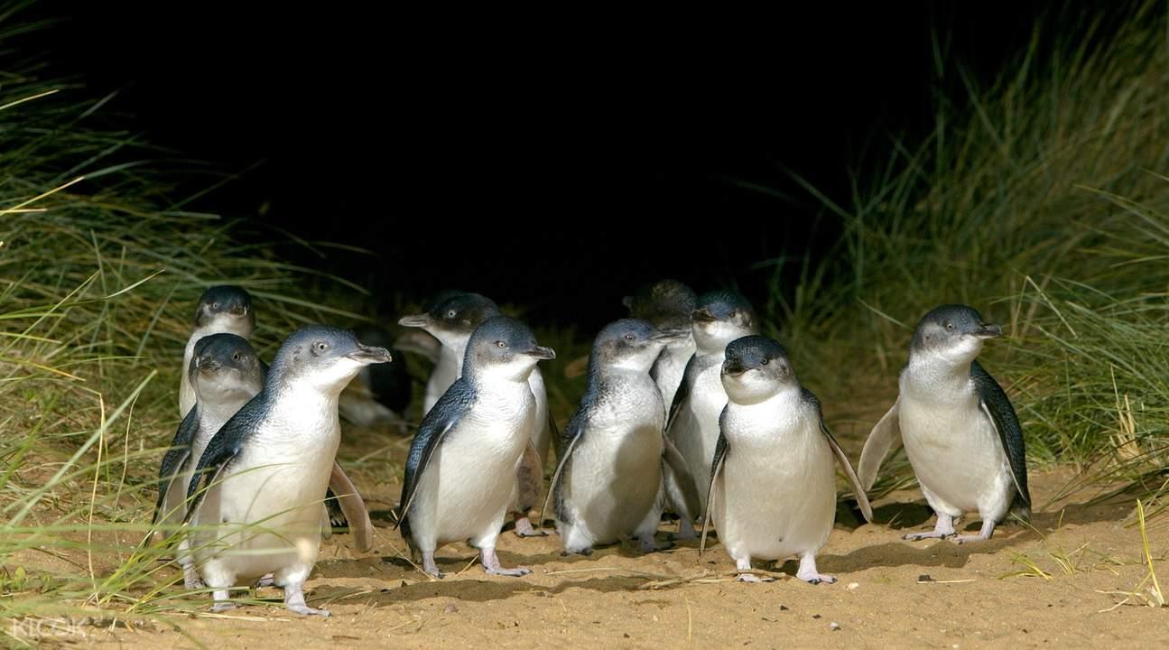 Melbourne penguin parade