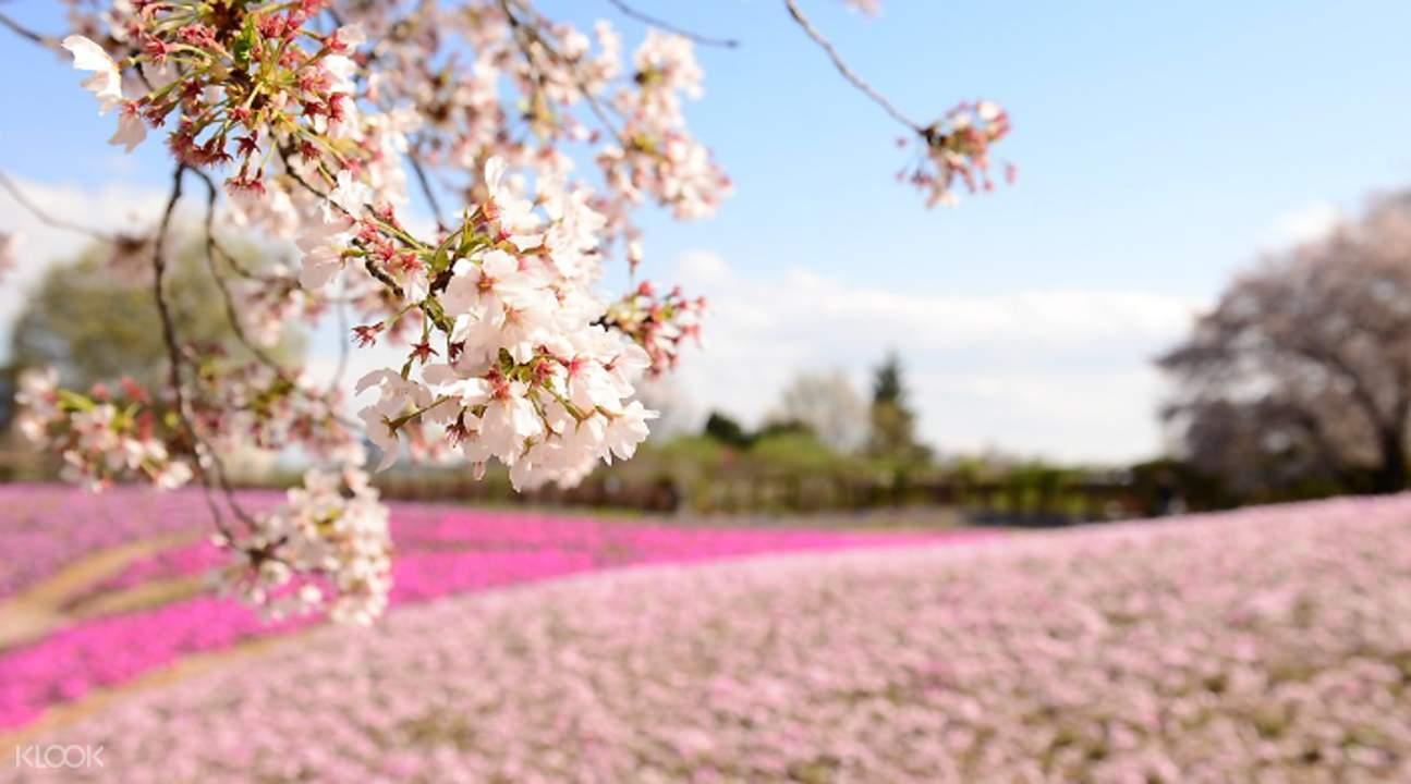 東武珍寶園芝櫻