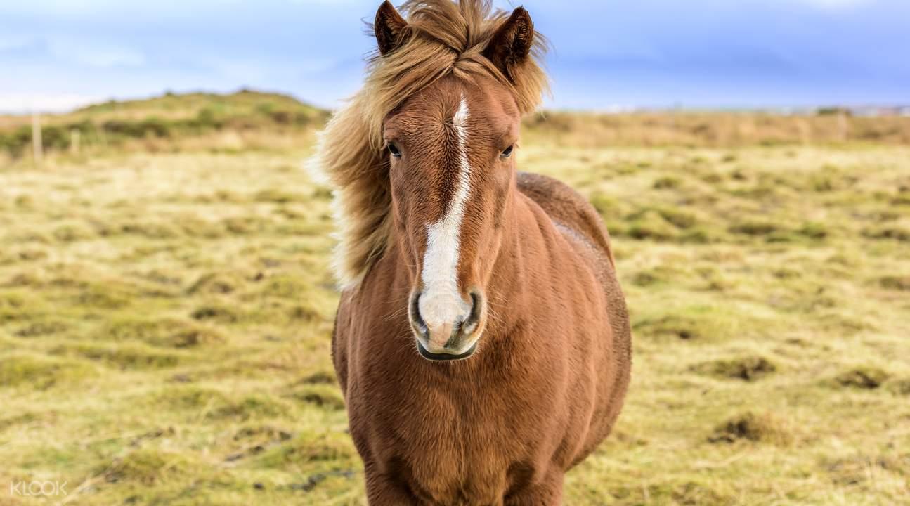 冰岛雷克雅未克  冰島馬體驗