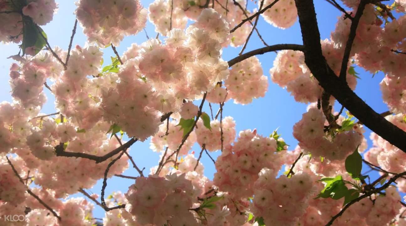 廣州從化天適櫻花悠樂園