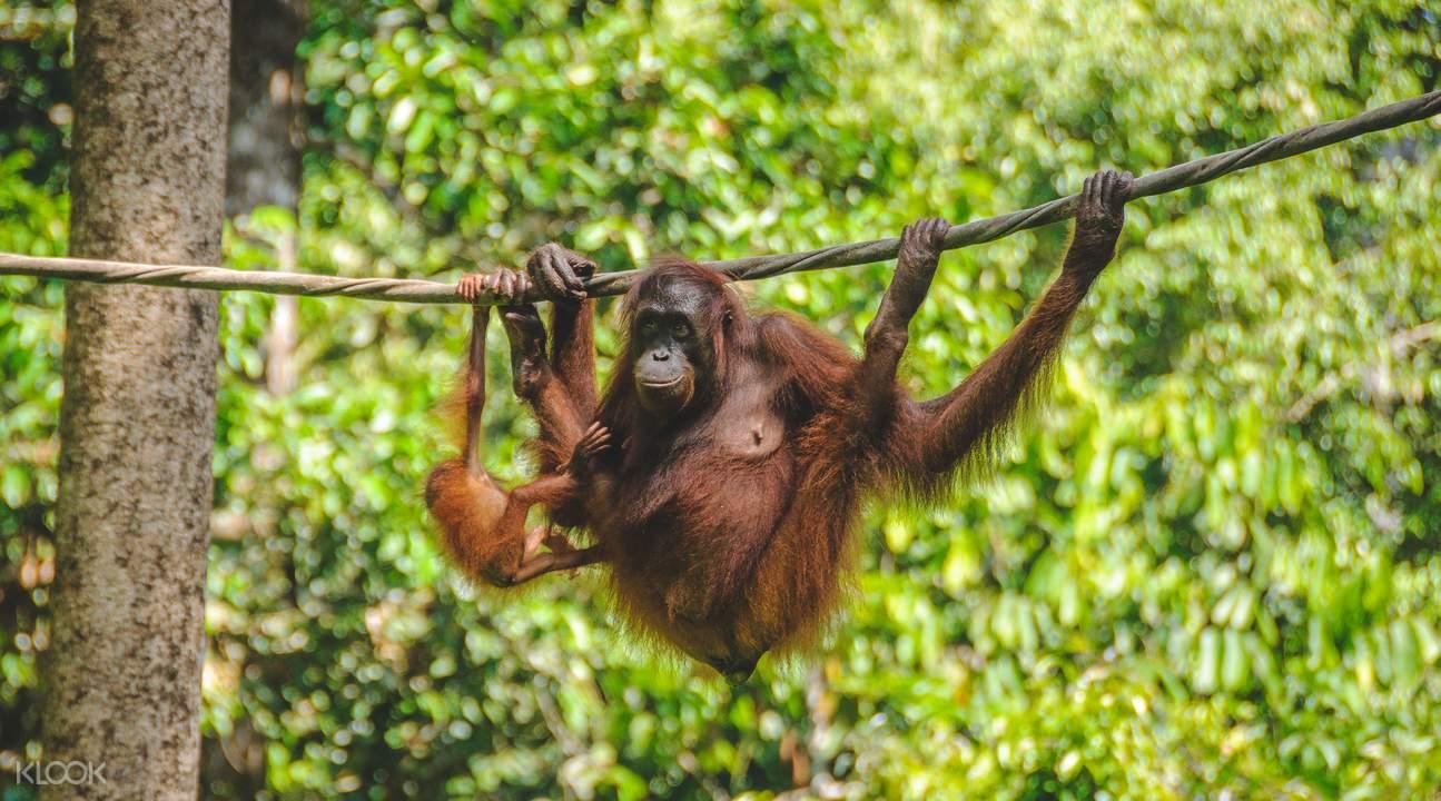 orangutans in Sabah
