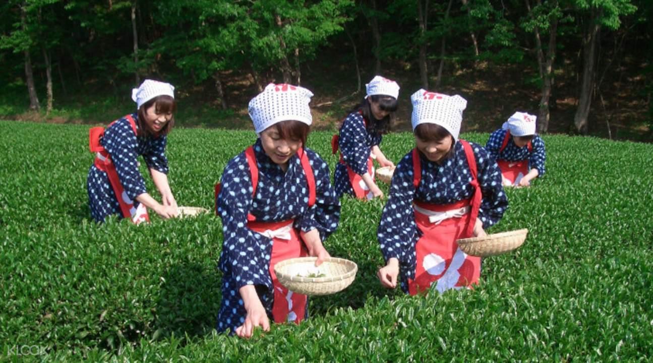 Tea picking at Kuraya Narusawa