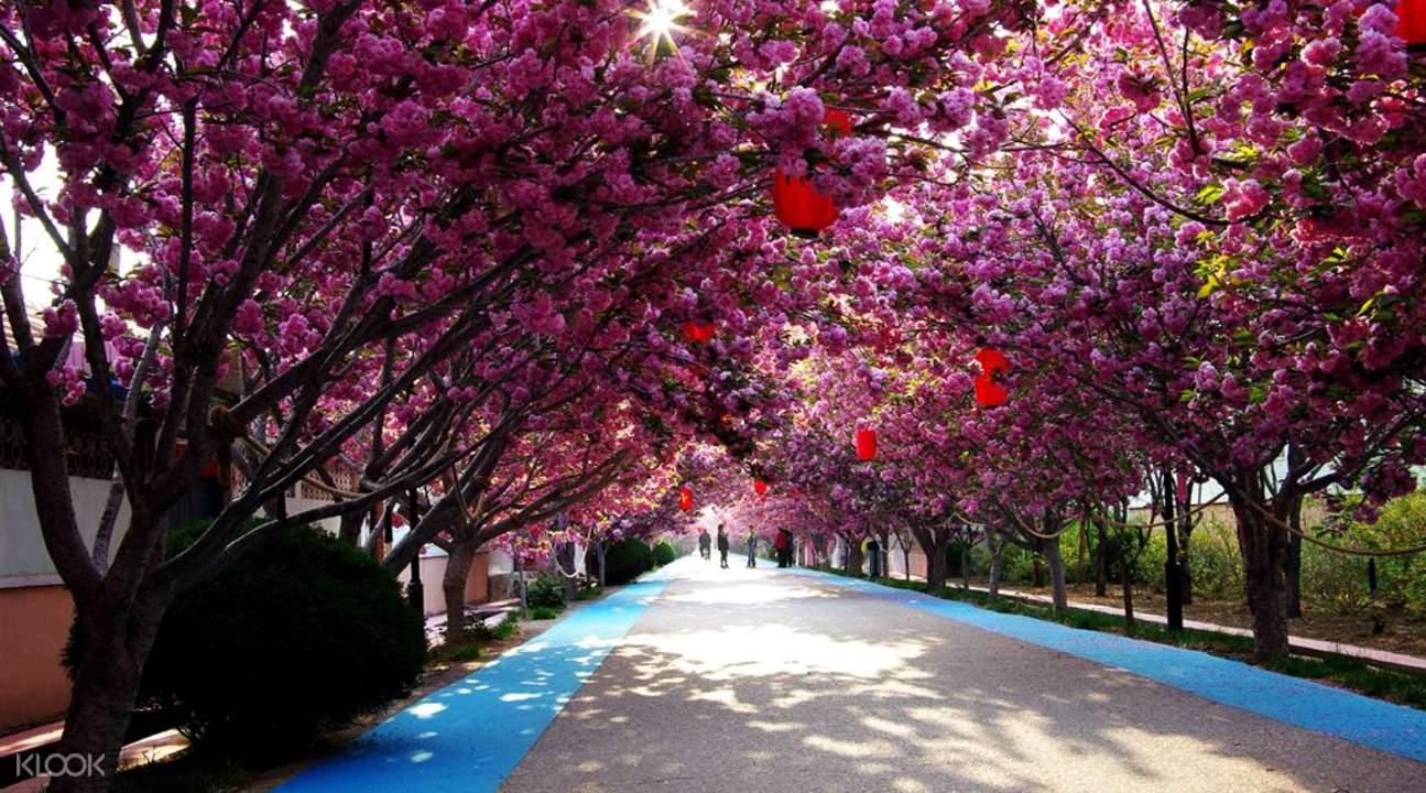 cherry blossom park guangzhou