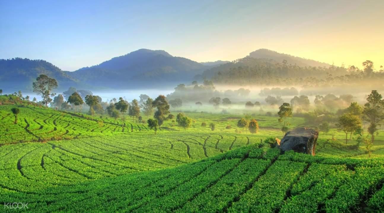 Rancabali Tea Plantation bandung indonesia