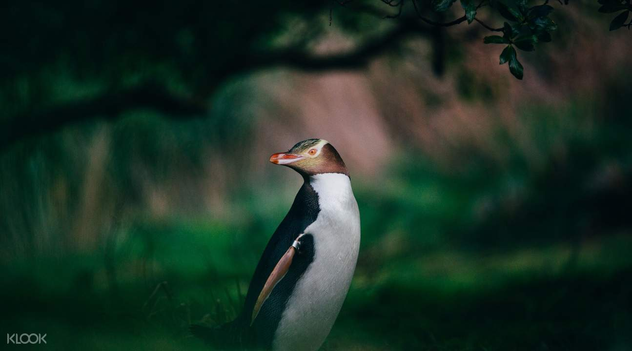 yellow-eyed penguin Otago Peninsula Natures Wonders