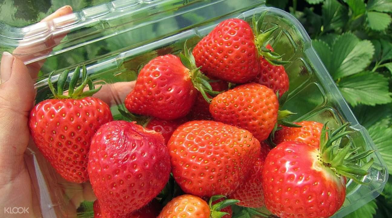 首尔草莓采摘