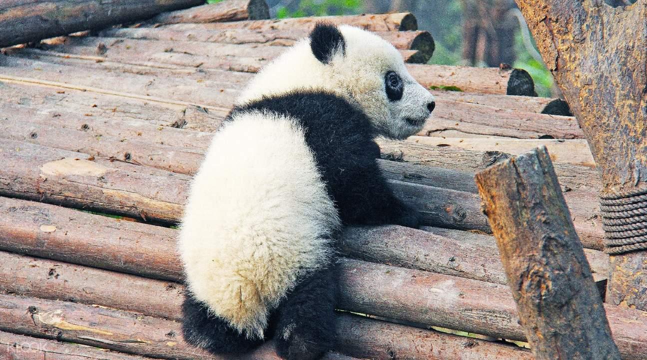 chengdu giant panda base