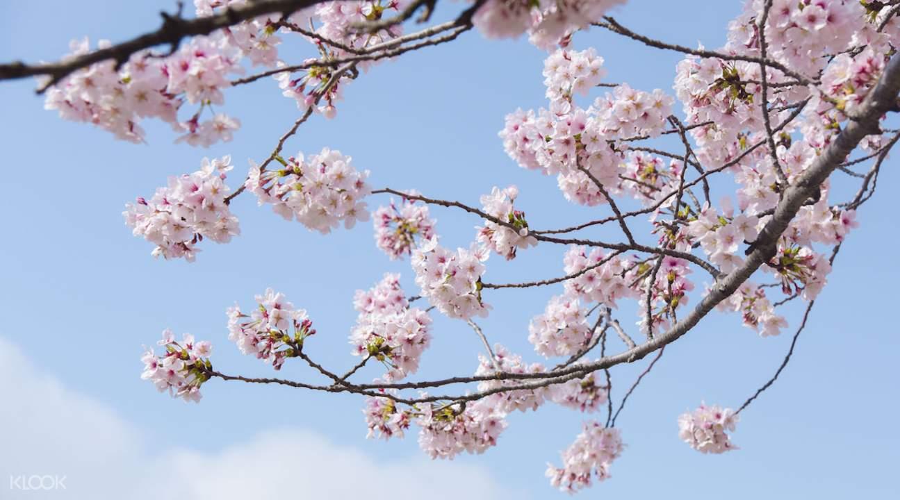 cherry blossoms at Jinhae Cherry Blossom Festival