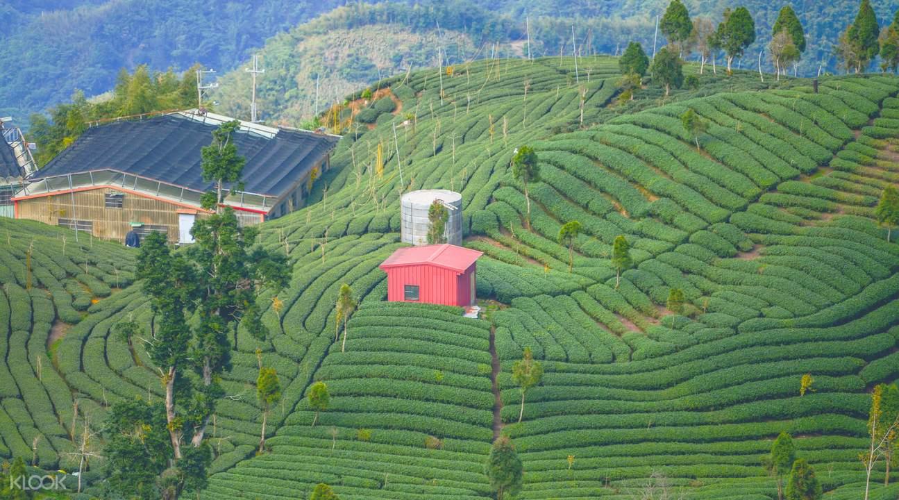Tea plantations Taiwan