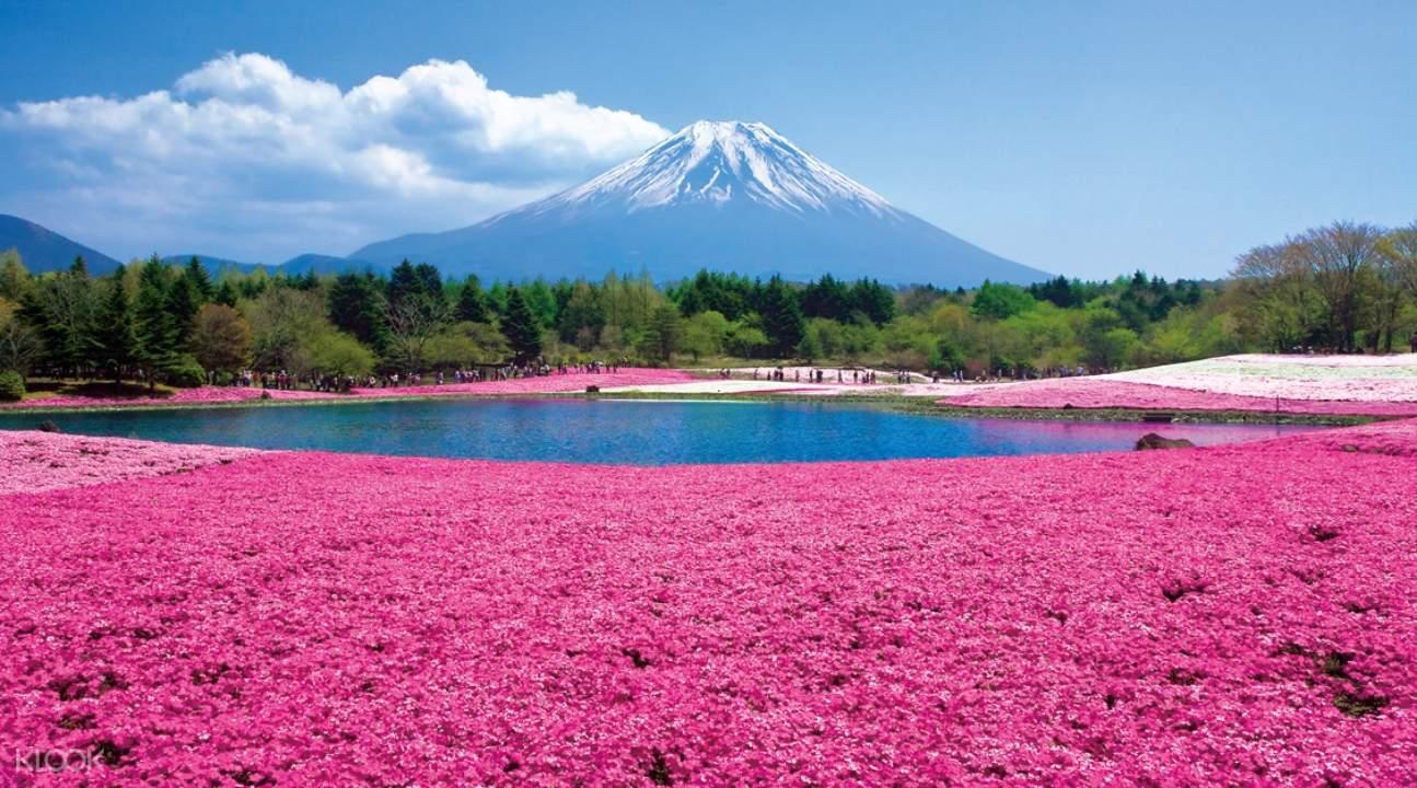 富士山芝櫻鬱金香賞花一日遊