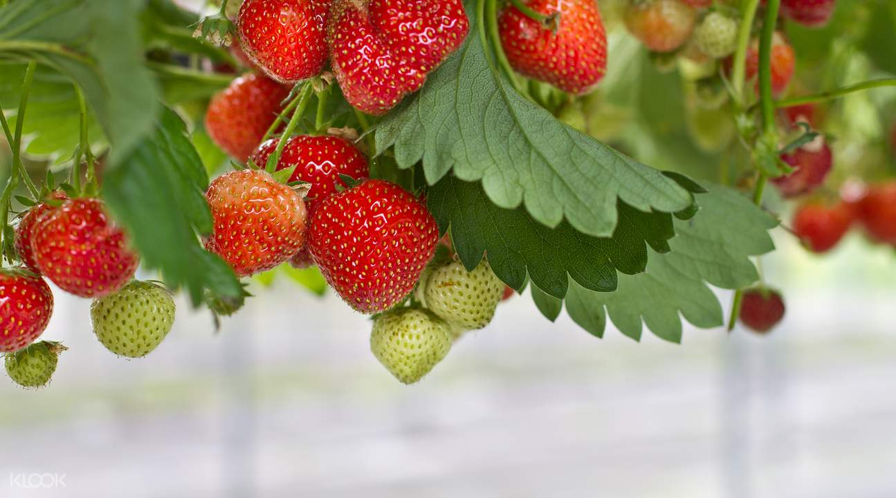 Strawberry picking Seoul